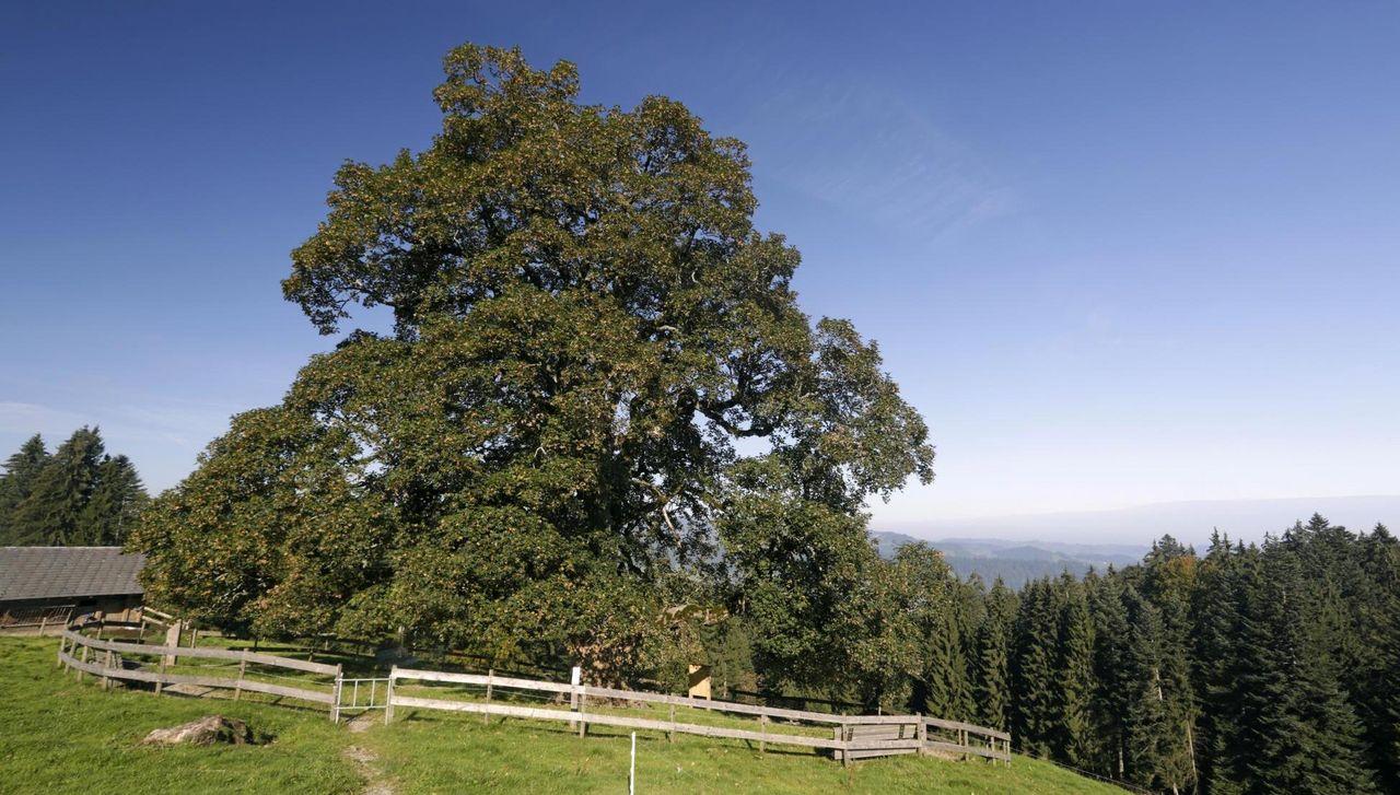 Kraftbaum Heiligkreuz