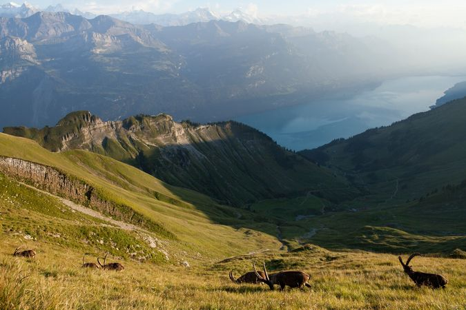 Steinbock-Trek Brienzer Rothorn